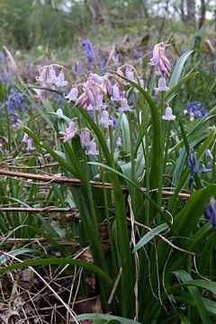 Bos Hyacinten von Erik Reijnders