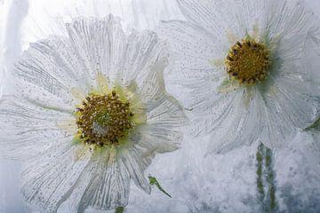 2 Cosmea blancs dans la glace sur Marc Heiligenstein