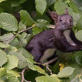 Eichhörnchen von Andreas Müller