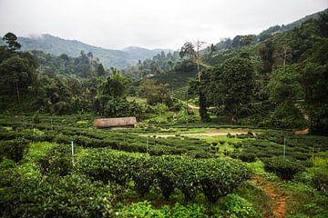 Theeplantages in het noorden van Thailand van Yvette Baur