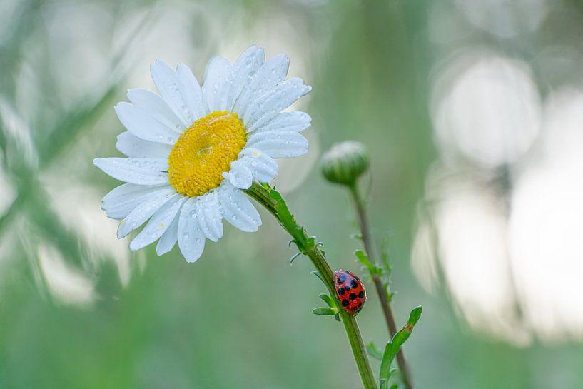 Lieveheersbeestje op een margriet #1 van Edwin Mooijaart