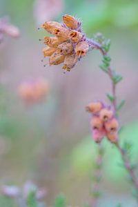 Blume (Calluna Vulgaris) von Lili's Photography