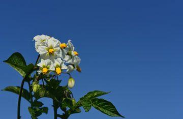 Een aardappelplant met witte bloemen van Ulrike Leone