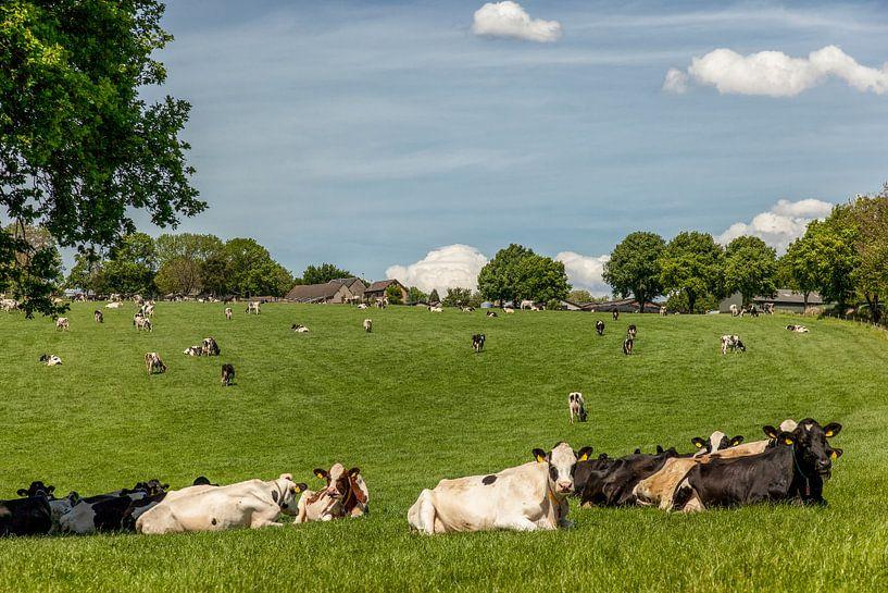 Grazende koeien Bosschenhuizen Zuid-Limburg van John Kreukniet