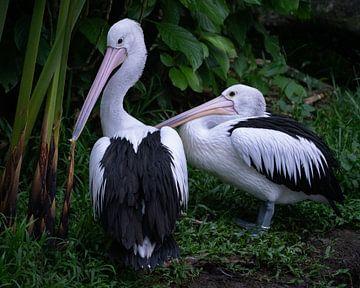 Pelicanen in een wildpark van Anges van der Logt
