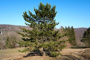 Mooie imposante boom op een berg met blauwe hemel van creativcontent