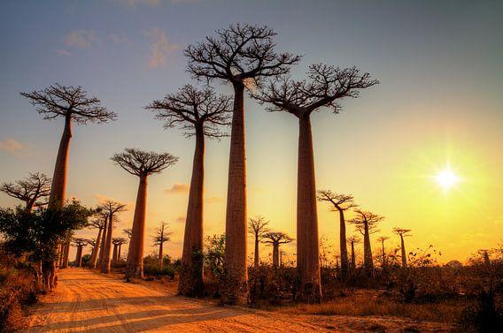 Avenue of the Baobabs tijdens zonsondergang van Dennis van de Water