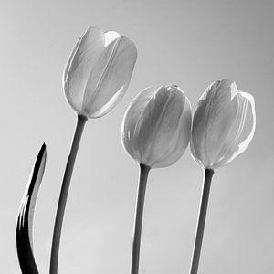 Tulpen in Schwarz und Weiß von Herman Peters