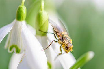 Frühling - Schneeglöckchen mit Fliege von Jan Hoekstra