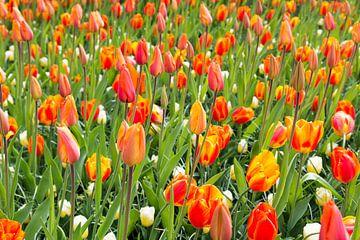 veld met oranje tulpen op de keukenhof
