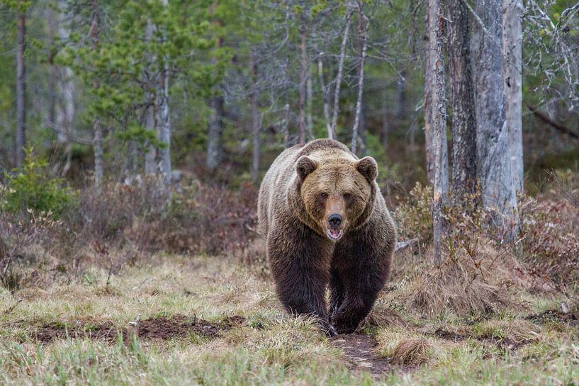 Brown Bear van Leendert van Bergeijk