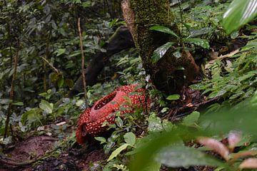 Rafflesia, Bukkitinggi, Indonesië van Dominique Van Gerwen