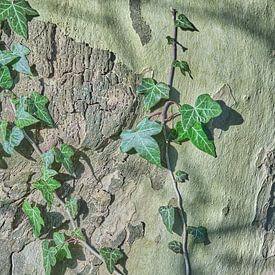 Klimop op de boomstam van Ronald Smits