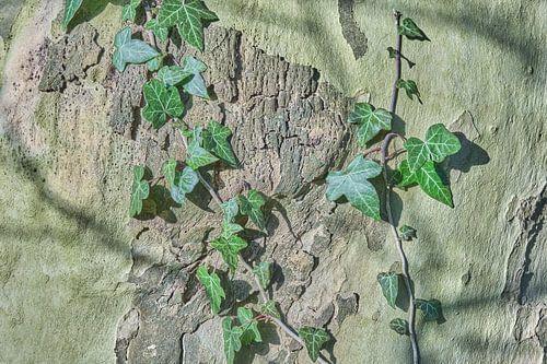 Klimop op de boomstam