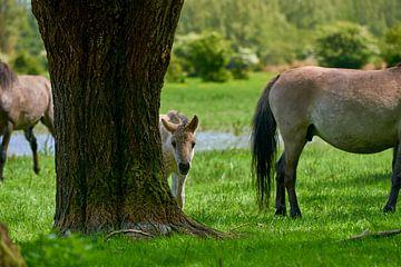 Konik-Pferdefohlen spielt Peekaboo von Jenco van Zalk