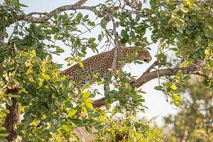 Luipaard lopend in een boom van