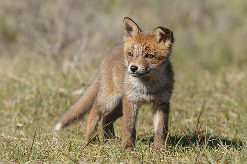 Een jonge vossen welp van
