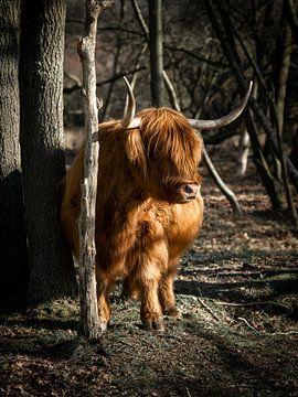 Goldener schottischer Highlander von Milou Schothuis