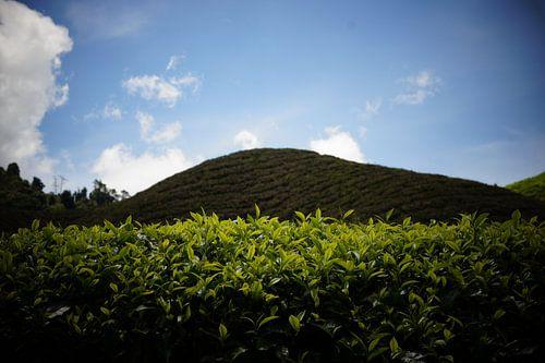 Tea fields van