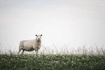 Schafe in Bierum III von Luis Fernando Valdés Villarreal Boullosa