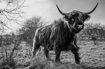 Schotse Hooglander zwart/wit sur Frank Slaghuis