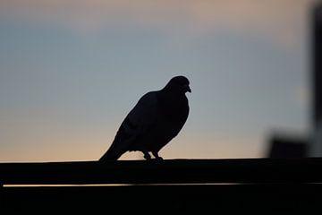 pideon sunset #4 van Johan Dingemanse