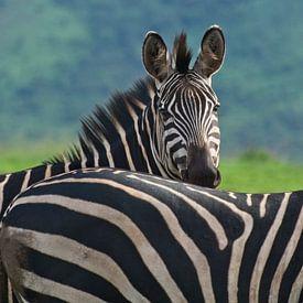 Zebra's in Akagera National Park van paul snijders