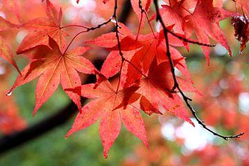 Rode herfst bladeren van Ioanna Stavrakaki