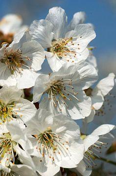 bloeiende kersenboom 1 van