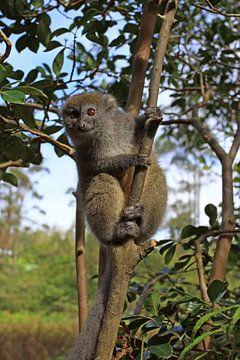 Wolmaki in Madagaskar van Antwan Janssen