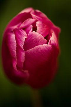 roze tulp von Jovas Fotografie