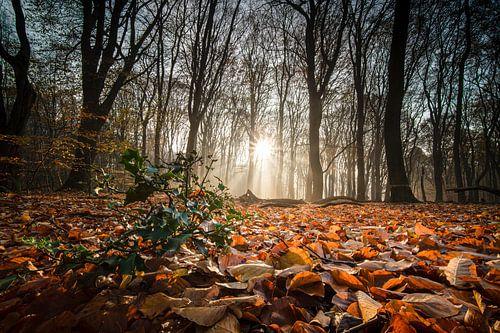 Zonnestralen op groen hulst in herfstbos