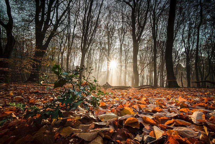 Zonnestralen op groen hulst in herfstbos van Fotografiecor .nl