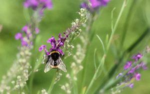 Bumblebee Bombus terrestris von
