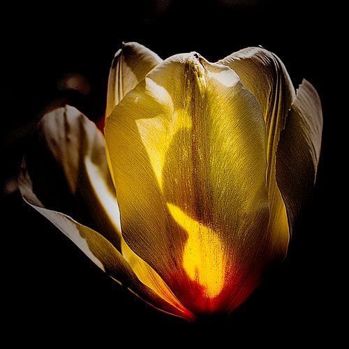tulp in prachtig zonlicht
