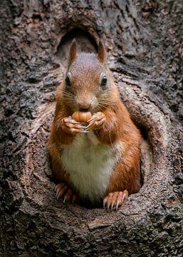Eekhoorn met hazelnoot in een holle boomstam. van Albert Beukhof