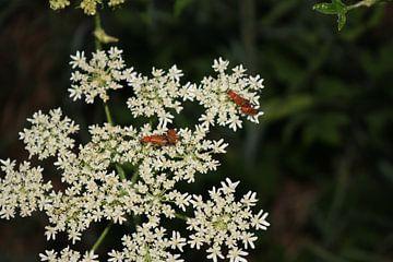 Rote Käfer von Rosalie Broerze