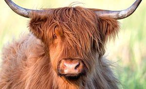 Schotse hooglander (Bos taurus) portret in close up