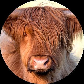 Schotse hooglander (Bos taurus) portret in close up van Nature in Stock