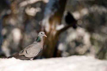 Duif op zoek naar voedsel in het winterlandschap van Els Peelman
