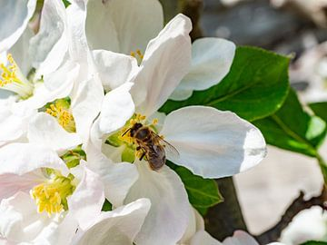 Apfelblüte von Stijn Cleynhens