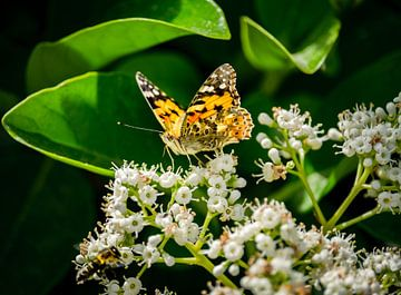 Vlinder van Jellie van Althuis