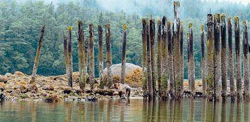 Grizzly bears - Glendale Cove van Joris de Bont