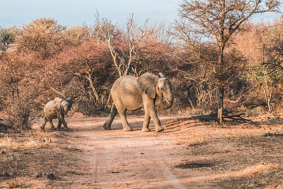 Olifant met jong in Marakele Nationaal Park in Zuid-Afrika