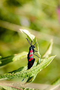 sint jacobs vlinder  in natuurgebied op Ameland van Janna-Jacoba van der Laag
