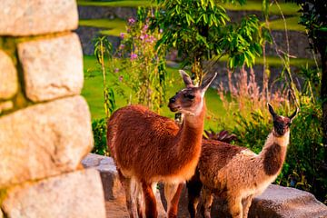 Lama familie in Machu Picchu van John Ozguc