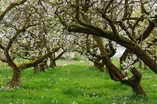Bloeiende boomgaard van