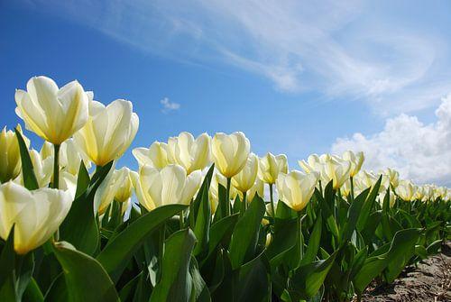 Bollenveld met witte tulpen van