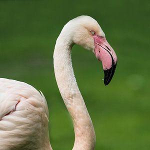Europäischer Flamingo : Königlicher Bürgerzoo