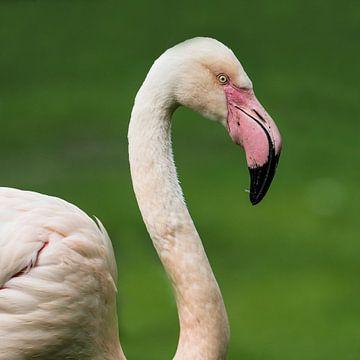 Europese Flamingo : Koninklijke Burgers' Zoo van Loek Lobel